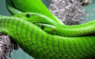 К чему снится Зеленая Змея 🐍 во сне, сонник и толкование