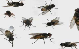 К чему снятся мухи во сне: значение по сонникам