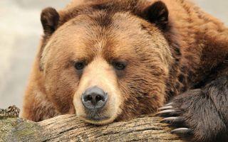 К чему снится медведь