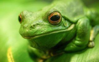 К чему снится жаба во сне: толокование по сонникам
