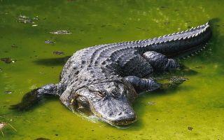 К чему снится крокодил во сне: значение по сонникам