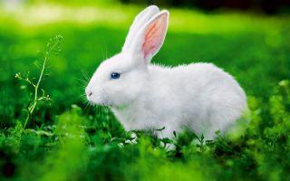К чему снятся кролики во сне: значение по сонникам