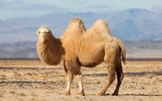 К чему снится Верблюд 🐪 во сне, сонник и толкование