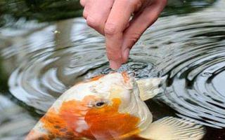 Сонник: кормить рыбу