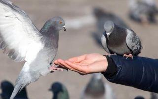 К чему снится голубь во сне: толкования по сонникам