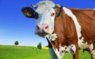 Что делать если сглазили корову